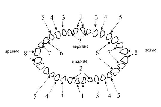 Схема зубного аппарата